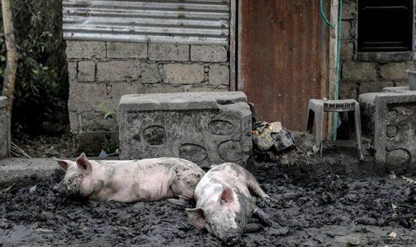 Penyakit misteri landa Bali, lebih seribu babi mati.